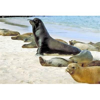 Galapagos Sea Lions - Zalophus wollebaeki