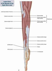 7. Muscles of the Forearm and Hand | Musculoskeletal Key