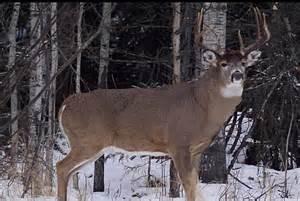 big deer big deer