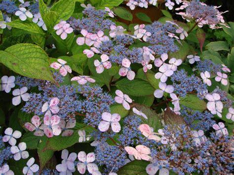 quelle cuisine acheter hydrangea serrata 39 blue bird 39 hortensias hydrangeas