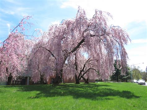 weeping cheery tree 1000 images about cherry blossom on pinterest weeping cherry tree cherry tree and cherry