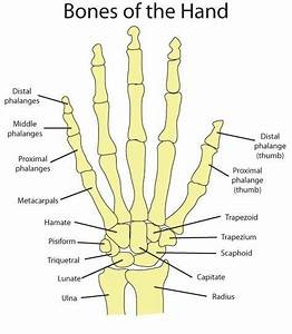 9 Best Arm Bones Images On Pinterest