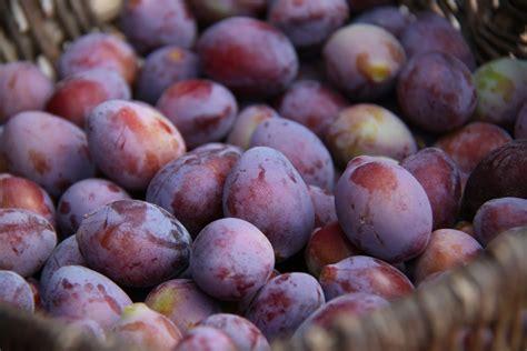 cuisiner l oie les prunes une gourmandise de fin d 39 été recettes de prunes