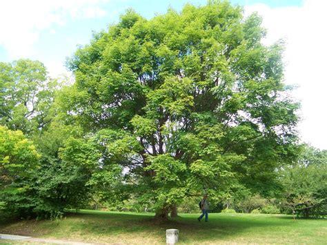 garden outdoor beautiful paperbark maple tree