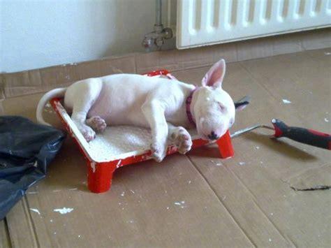 funny bull terrier sleeping  paint tray luvbat