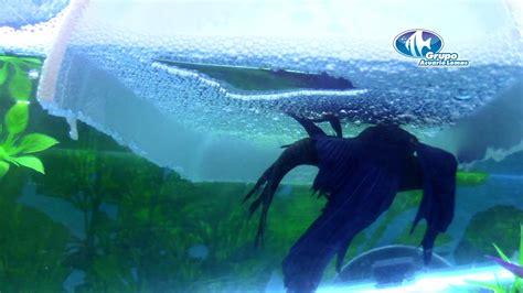 reproduccion de peces bettas youtube
