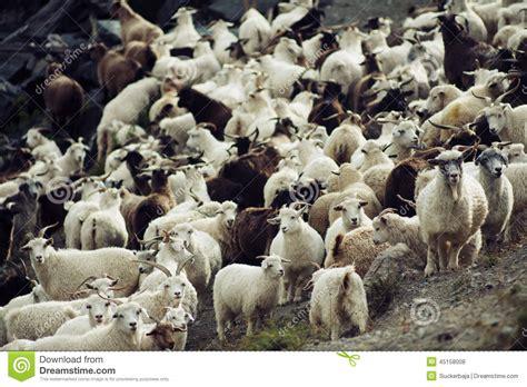 goat herd stock photo image of goat herd sheep