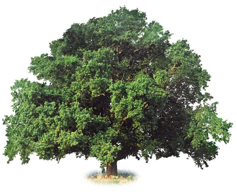pictures of plants and trees what is a deciduous tree deciduous trees dk find out