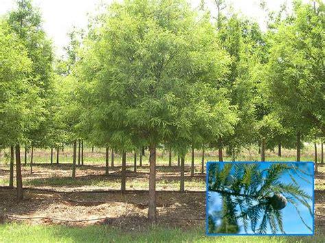 trees  north texas deciduous  evergreen shade