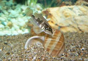 Lamprologus Meleagris   Ryby