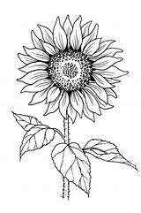 Sunflower Outline Drawing Coloring Tall Painting Drawings Stamp Flowers Canvas Tattoo Simple Flower Line Patterns Earth Pattern Colors Pngio Easy sketch template