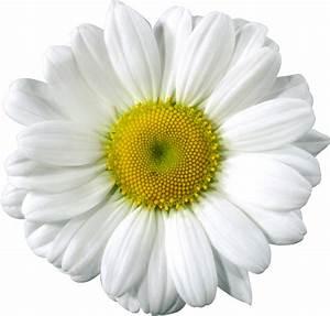 Top 71 Daisy Clip Art - Free Clipart Image