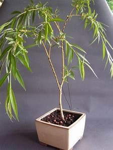 Taille Du Saule Pleureur : bonsa cr ation l 39 album photos collection des membres ~ Melissatoandfro.com Idées de Décoration