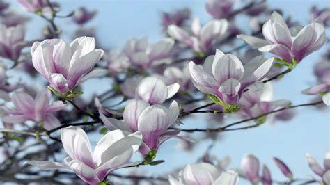 magnolia hd wallpaper  wallpaperscom
