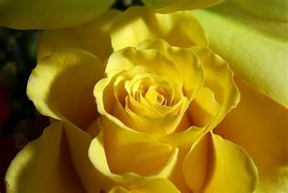 Yellow Flowers Definition Walldiskpaper Mac November Under