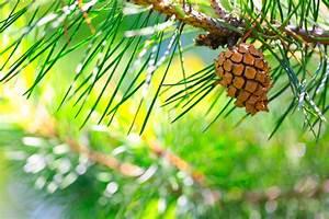 Mediterrane Bäume Winterhart : pinie pflanzen pflegen schneiden gie en und mehr ~ Frokenaadalensverden.com Haus und Dekorationen