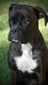 Beautiful Boxer Dog Puppy