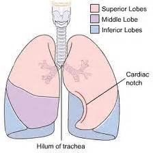 The Apex Base Hilum Lungs Lobes Diagram The Withe
