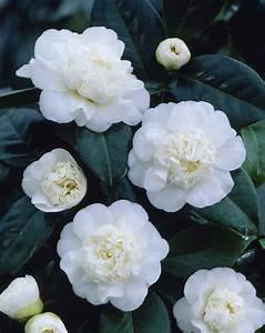 Camellia Japonica Winterhart : camellia japonica nobilissima ~ Eleganceandgraceweddings.com Haus und Dekorationen