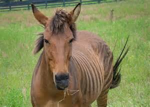 Horse and Zebra Hybrid Animals