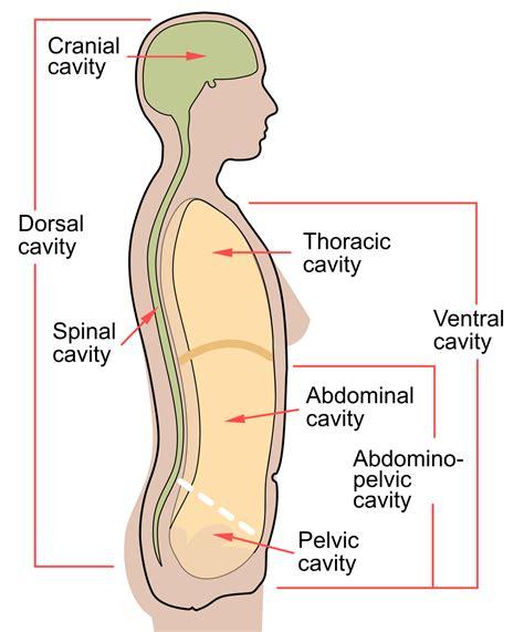 Vēdera dobums — Vikipēdija
