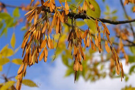 Ošlapu kļavas spārnuļi - Ošlapu kļava (Acer negundo ...