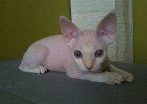 baby hairless cats hairless cat keke d