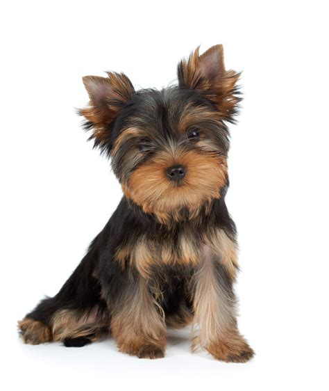 Best Yorkie Terrier Ideas And Images On Bing Find What You Ll Love