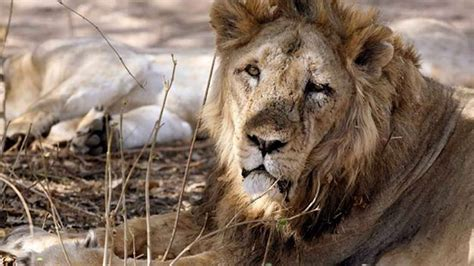 shocking truth   killing  asiatic lions