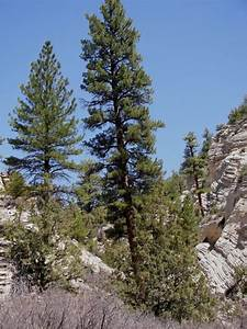 ponderosa pine zion national park u s national park