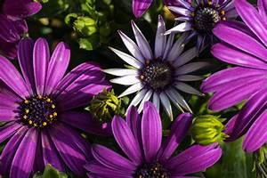 Balkonblumen Richtig Pflanzen : balkonblumen spanische margerite foto bild pflanzen pilze flechten ralph s bilder ~ Frokenaadalensverden.com Haus und Dekorationen