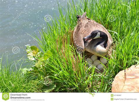 canadian goose  eggs  nest stock image image