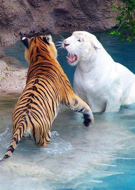 Tigre Albino Bengala Diy Pinterest