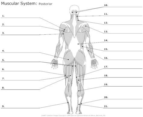 Muscular System Diagram Worksheet  World Of Diagrams