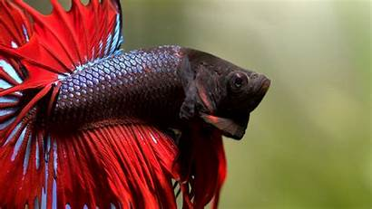 Fish Betta Fighting Wallpapers Siamese Tropical Colorful