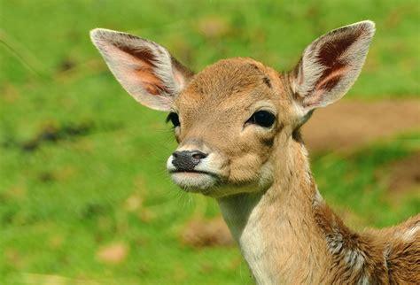 kostenlose bild tier rotwild gras wild lebende tiere feld