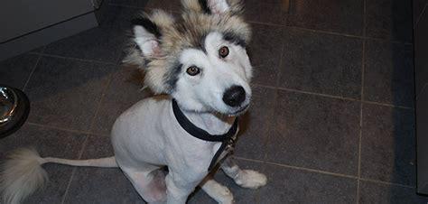 never shave a husky snowdog guru