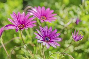 Pruning African... Daisy