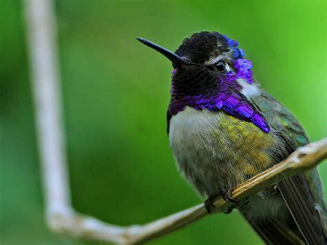 unique animals blogs hummingbirds pictures hummingbirds
