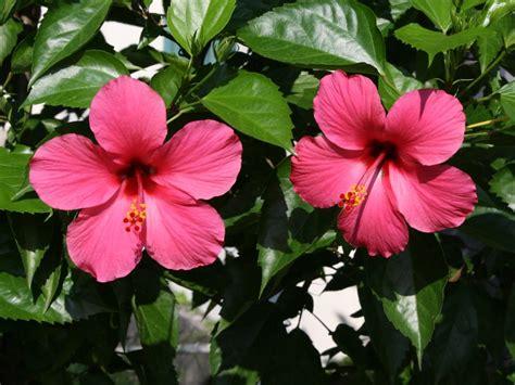 manfaat bunga kembang sepatu seruniid