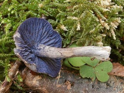 Latvijas sēnes - violetā sārtlapīte