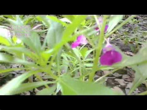 tanaman bunga pacar air youtube