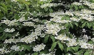 Arbustes Décoratifs à Fleurs : arbustes fleurs blanches 400 vari t s commander en ~ Premium-room.com Idées de Décoration