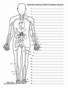The Human Heart Anatomy And Circulation Worksheet Answers