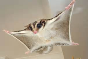 silver drop eucalyptus research and report writing what is a sugar glider