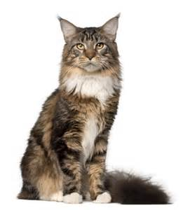 do maine coons shed in the summer maine coon maine coon pet insurance cat breed info