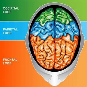 Human Brain View Top Stock Illustration  Illustration Of