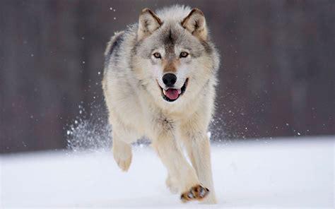gray wolf minnesota wallpapers hd wallpapers id