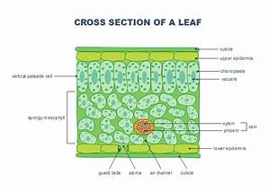 Free Leaf Cross Section Templates