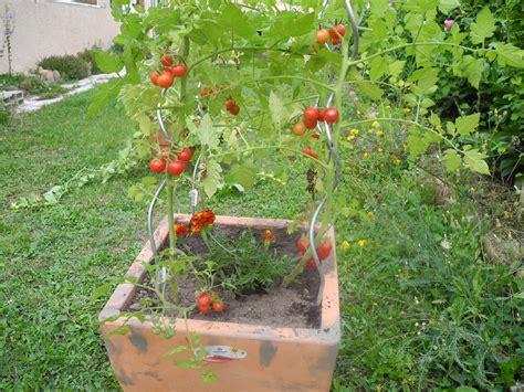plant de tomate en pot associez les tomates le basilic les salades jardiner avec jean paul